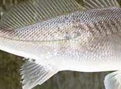 Pesci femmina sviluppano testicoli Golfo Messico
