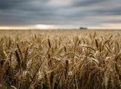 Quali sono grani antichi? Sono veri benefici intolleranti glutine