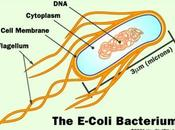 Escherichia Coli, arma biologica?