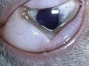 congiuntivite erpetica gatto