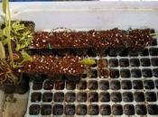 Tecnia della propaggine usata sulle piante carnivore