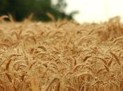 Dormi sepolto campo grano...