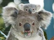 Ecco l'animale bello dell'Australia: koala