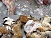 Cani Cinesi scelta