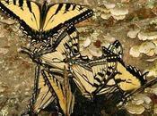 Nuova farfalla ibrido specie diverse