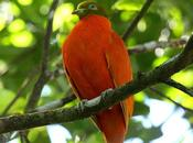 uccelli endemici delle foreste Fiji