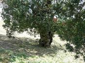 Pistacia lentiscus centenari