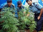 Marijuana alle isole Fiji