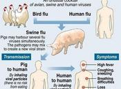 Virus H1N1 diffondendo maiali africani