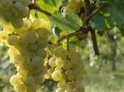 Vino Salute: proprietà dello spumante Incrocio Manzoni