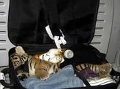 Ultime news Thailandia Aeroporto Bangkok Trovata tigre dentro valige