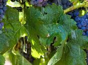Merlot Pinot bianco