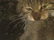 Gatto selvatico dell' Etna, specie endemica tutelare