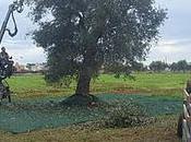 giganti Mediterraneo ginocchio produrre olio qualità