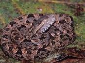 Serpenti Costa Rica: Terciopelo