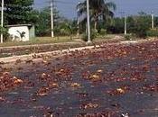 Cosa innesca migrazione granchi Christmas Island?