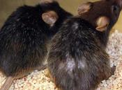 Topo anziano ritorna giovane grazie cellule staminali