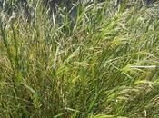 miglio: cereale storico privo glutine,ma ancora poco considerato nella cucina moderna.