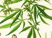 """Cannabis: verità scientifica contro l'insostenibile """"leggerezza"""" radicali"""