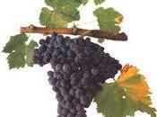 Grenache, grande vitigno Mediterraneo