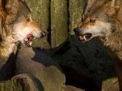 favola lupi