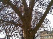 Alberi monumentali, platano Piazza Cavour Torino